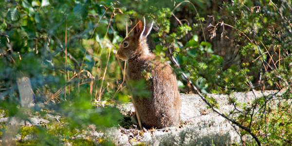 The shrubs and bushes offer perfect hiding places for small animals such as hares (Photo: Aleksi Malinen)