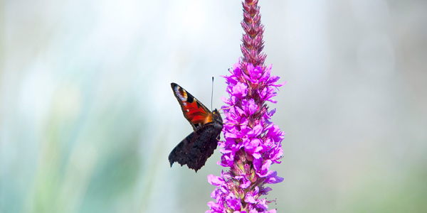 A butterfly rests on a Purple loosestrife (Photo: Aleksi Malinen)